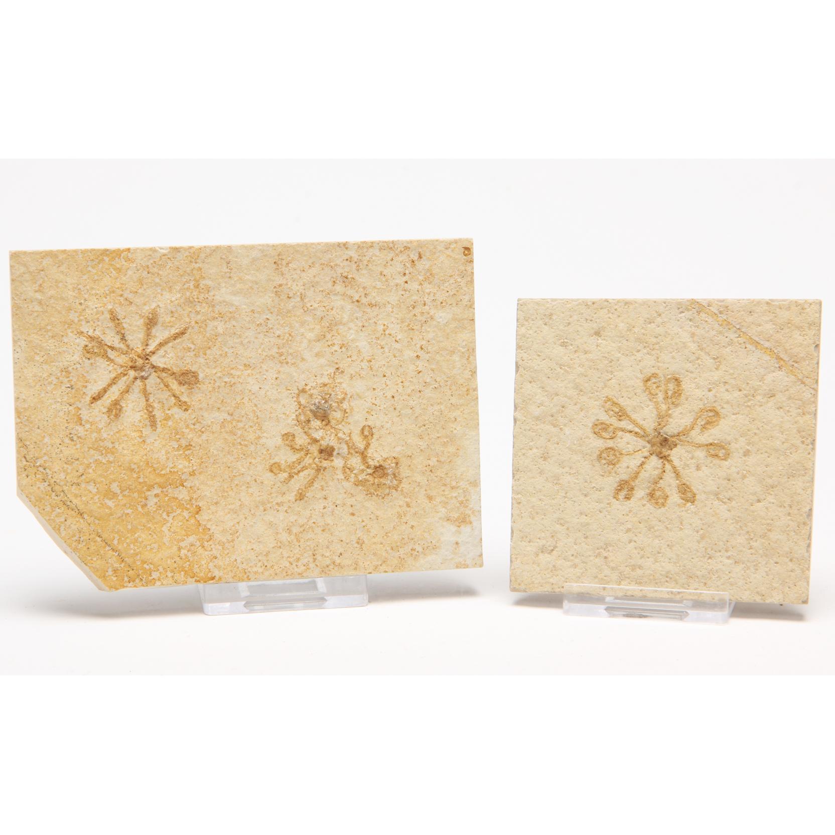 fossil-floating-crinoids-i-saccocoma-pectinata-i