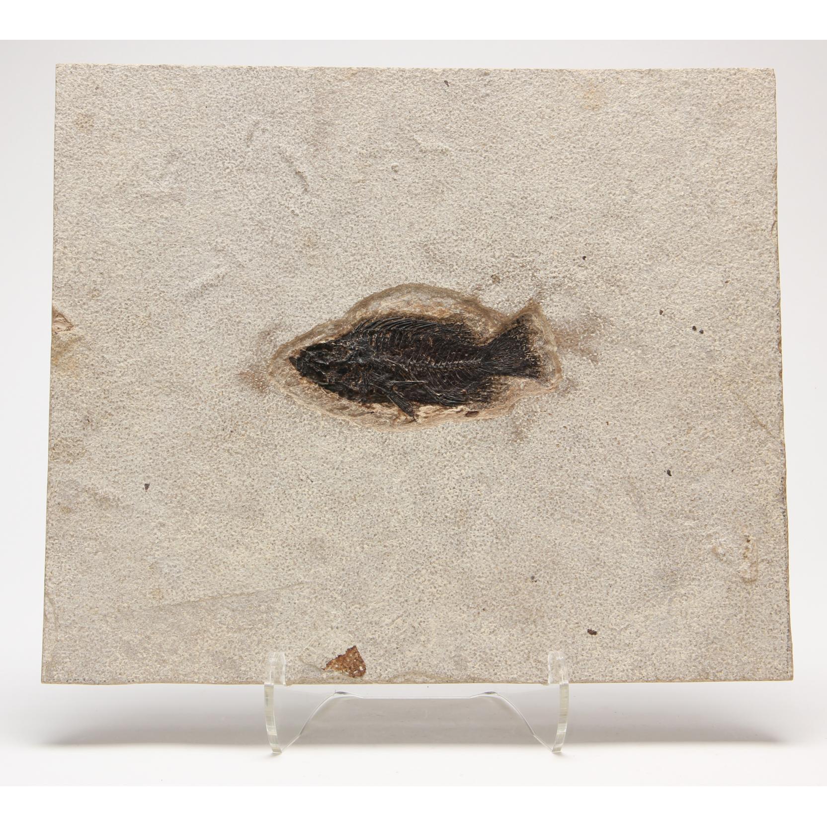 cretaceous-or-eocene-fish-fossil