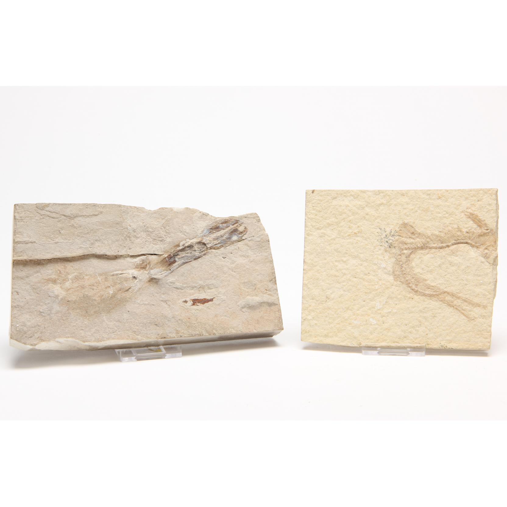 two-marine-fossils