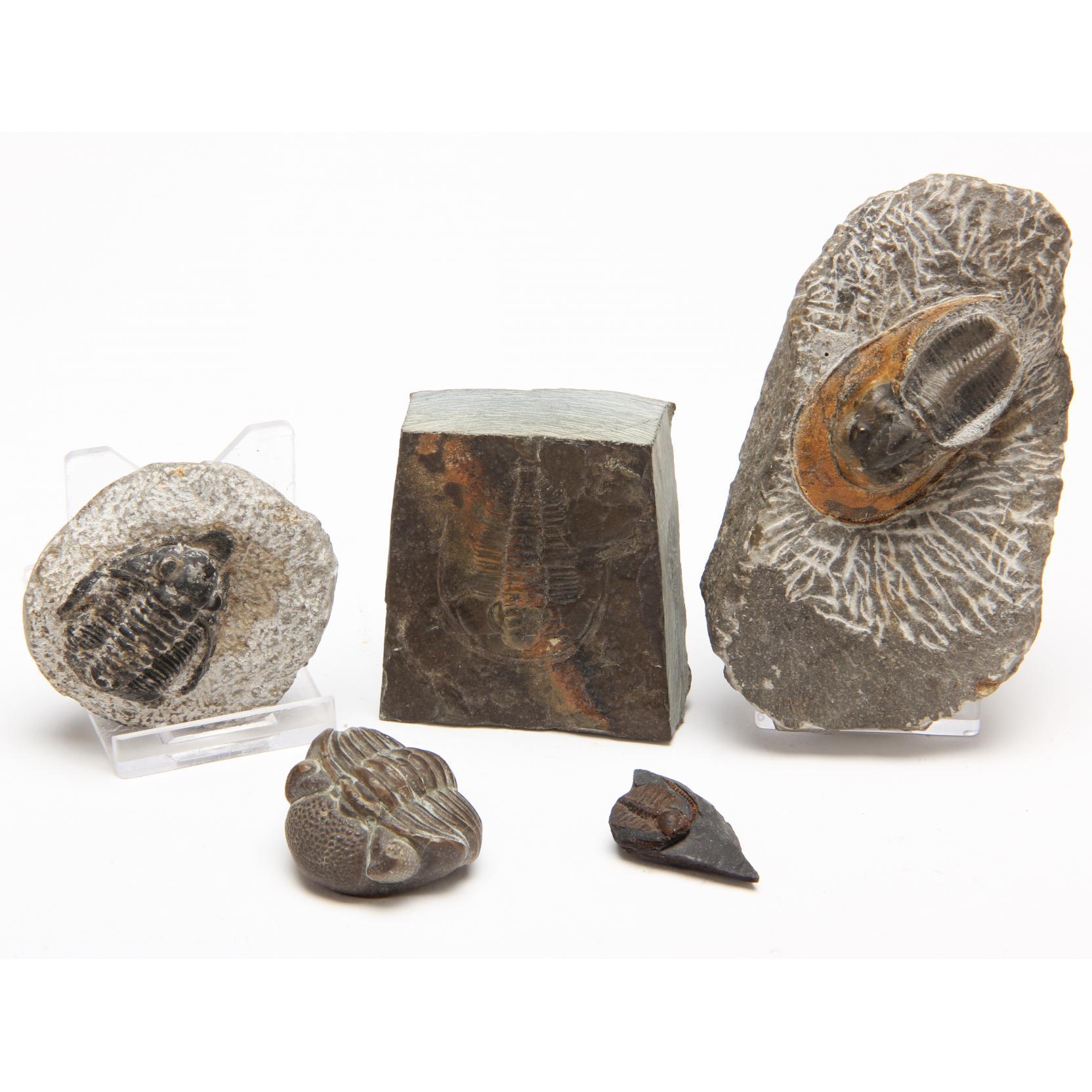 five-fossil-trilobites