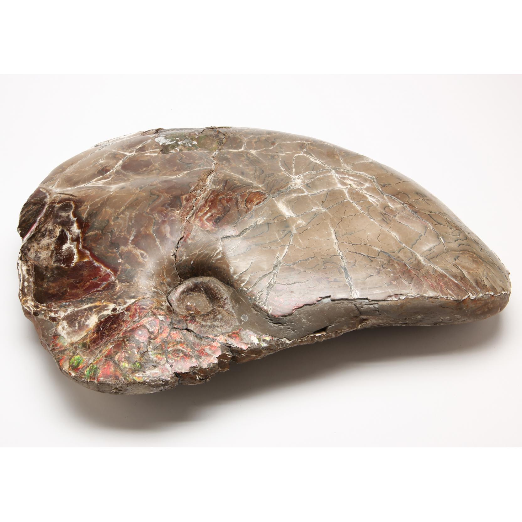 massive-canadian-ammonite