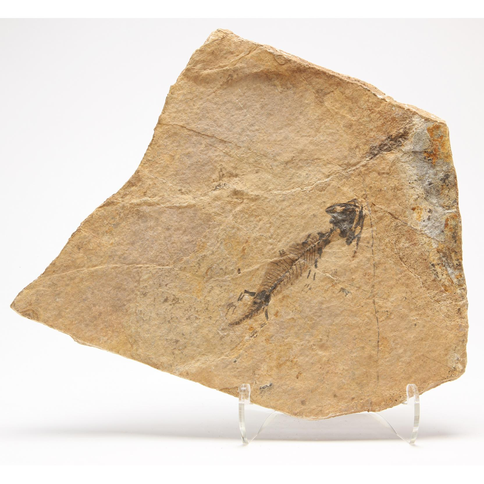 discosauriscus-fosil-plaque