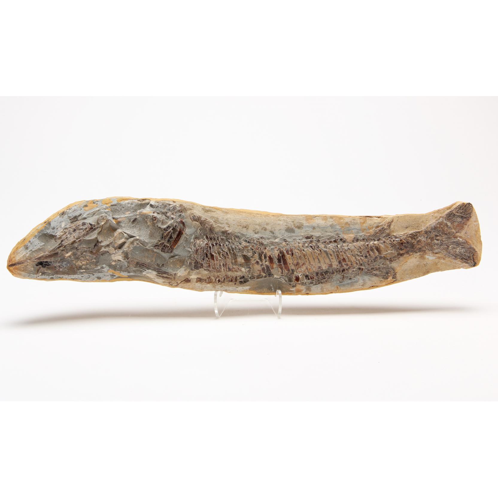 pipefish-sygnathus-in-half-concretion