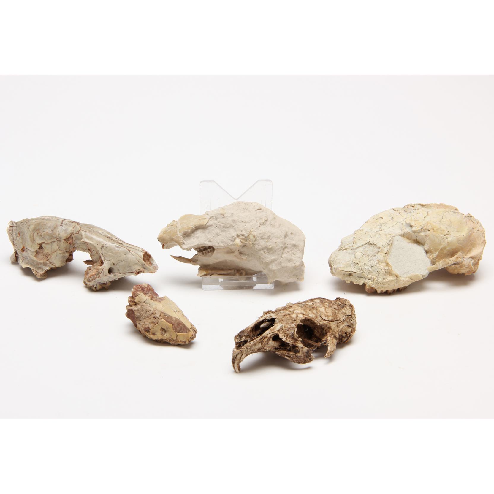 five-small-mammalian-fossil-upper-skulls