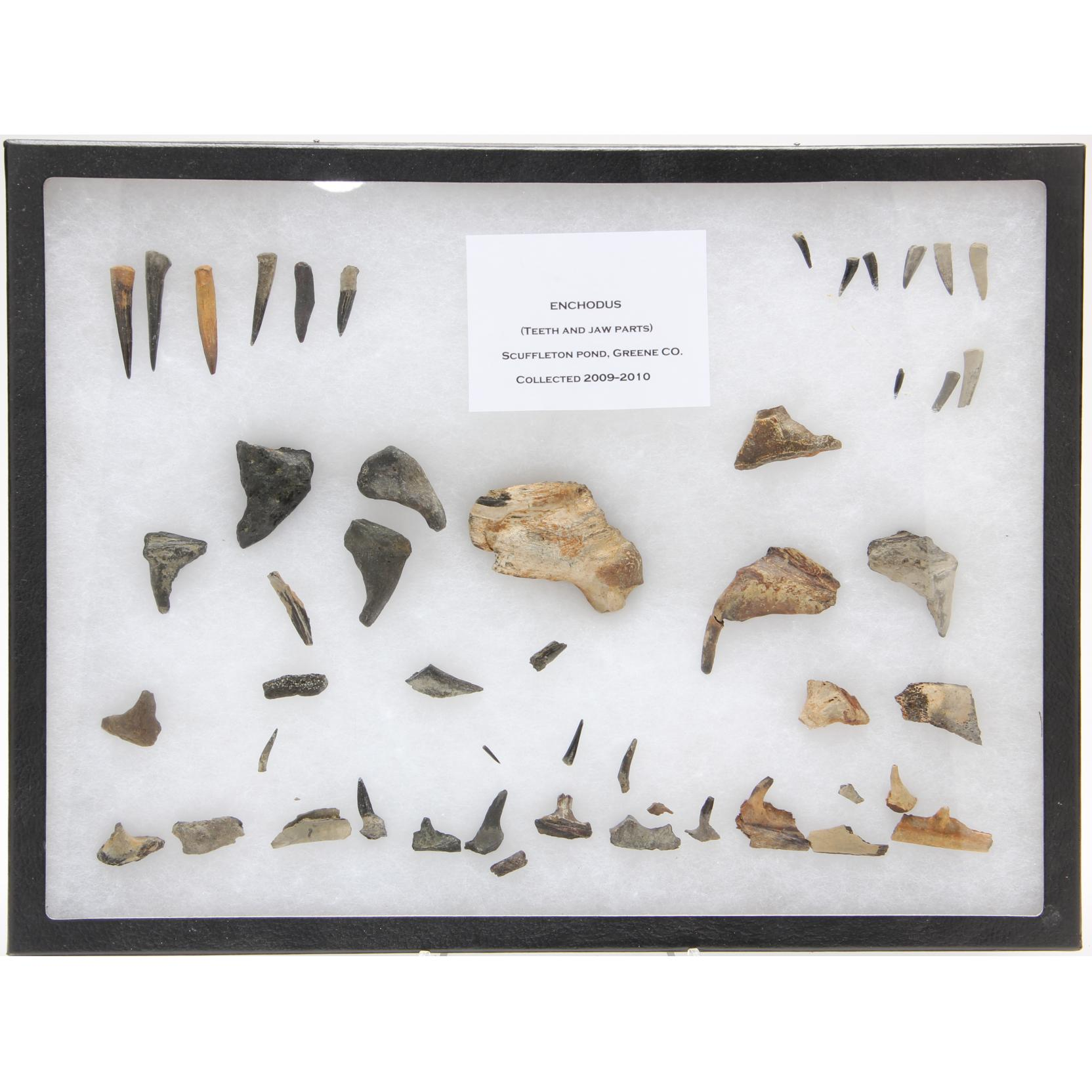 collection-of-fossil-enchodus-teeth-and-jaw-fragments