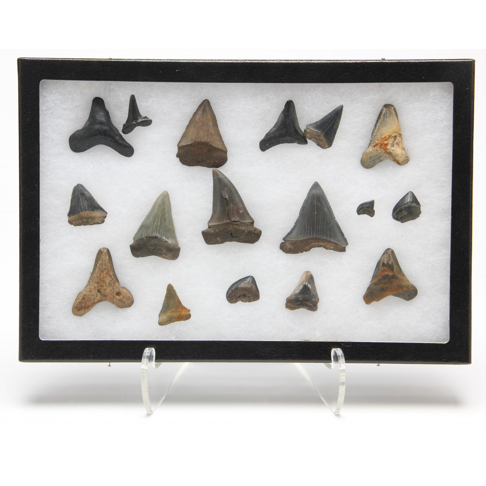 frame-of-fossil-shark-teeth