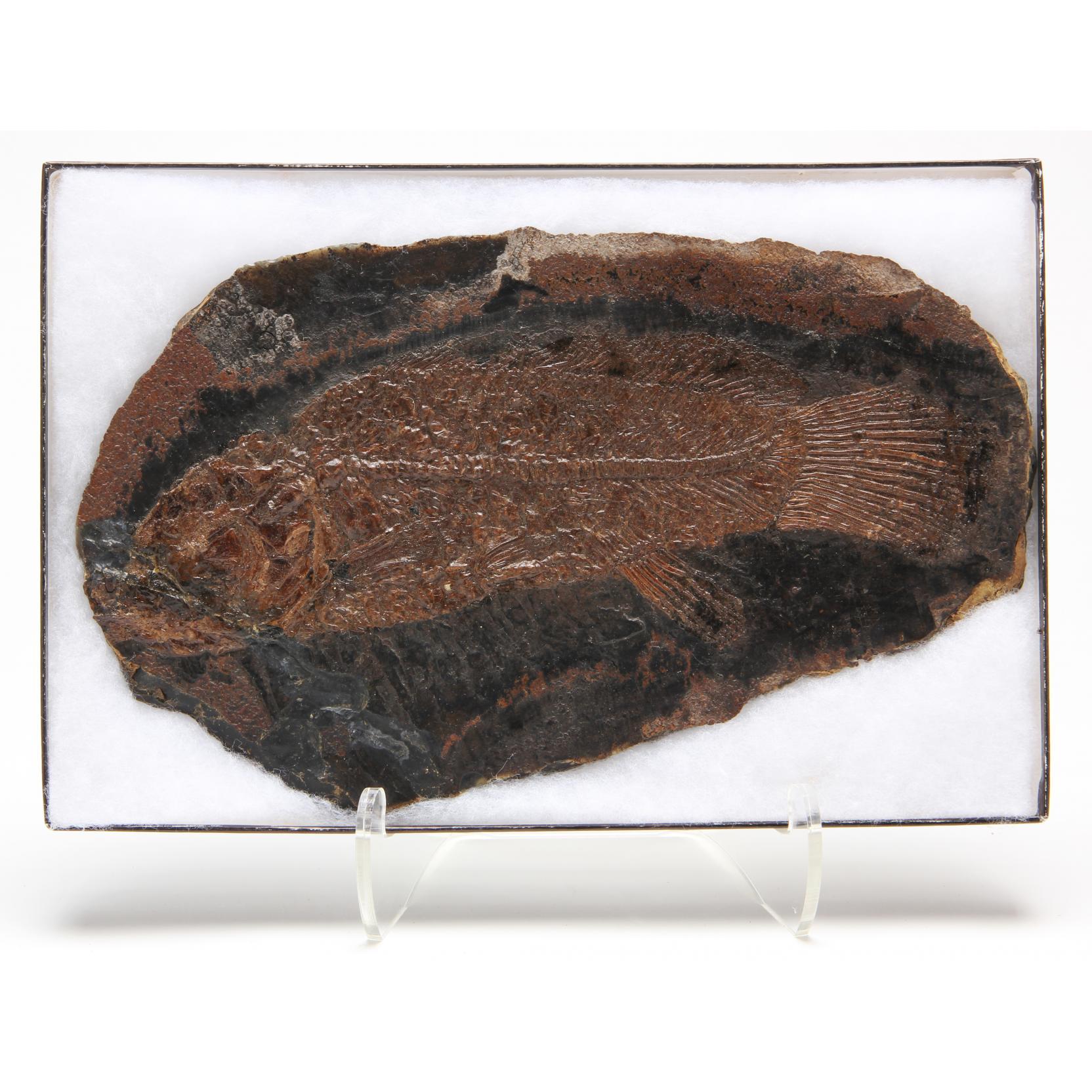 fossil-fish-i-amia-kehreri-i