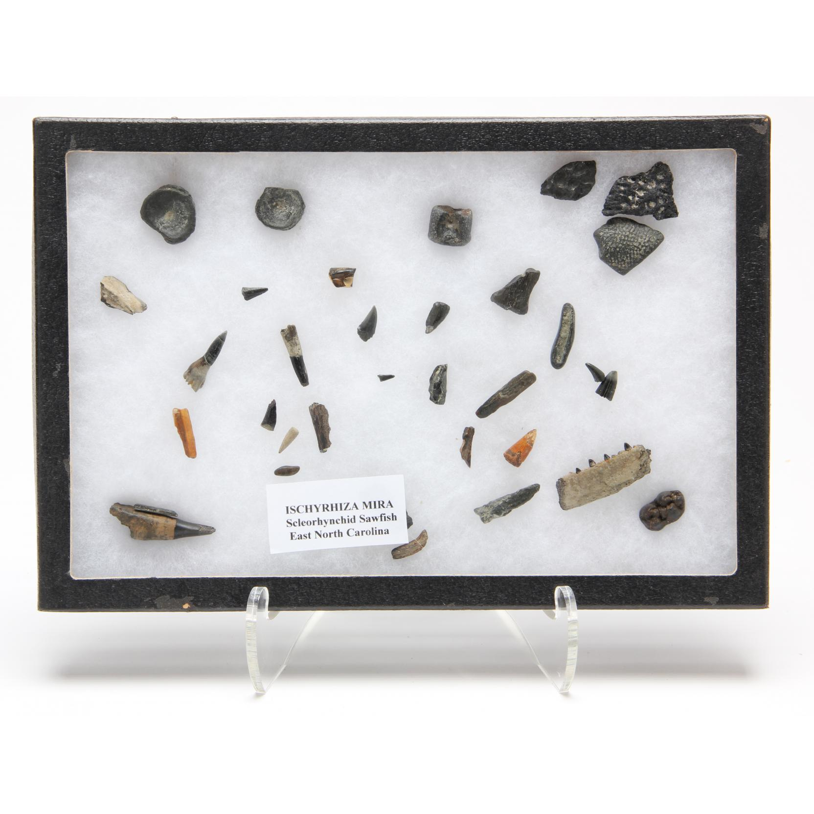 collection-of-sawfish-fossil-bone-fragments-and-teeth