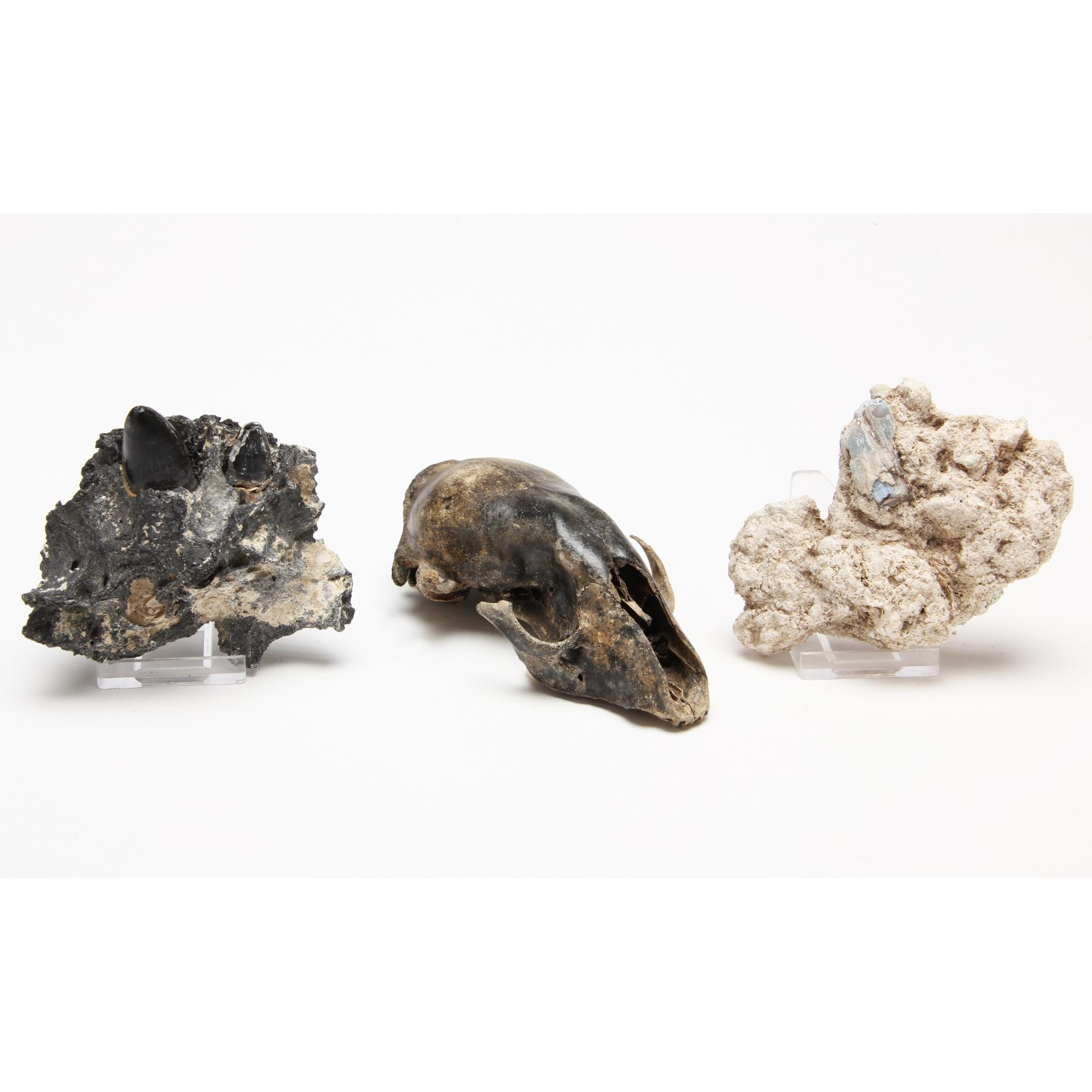 three-southern-u-s-fossils