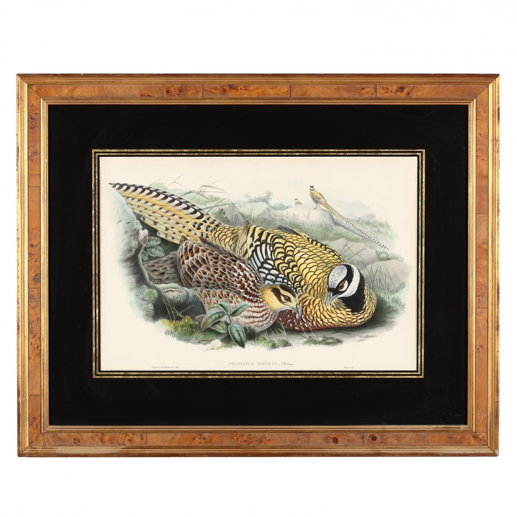 john-gould-british-1804-1881-reeves-pheasant-ii