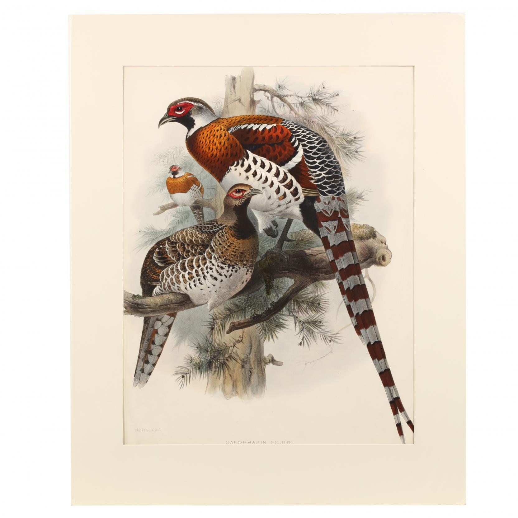 after-joseph-wolf-by-j-smit-19th-century-calophasis-ellioti-elliot-s-pheasant