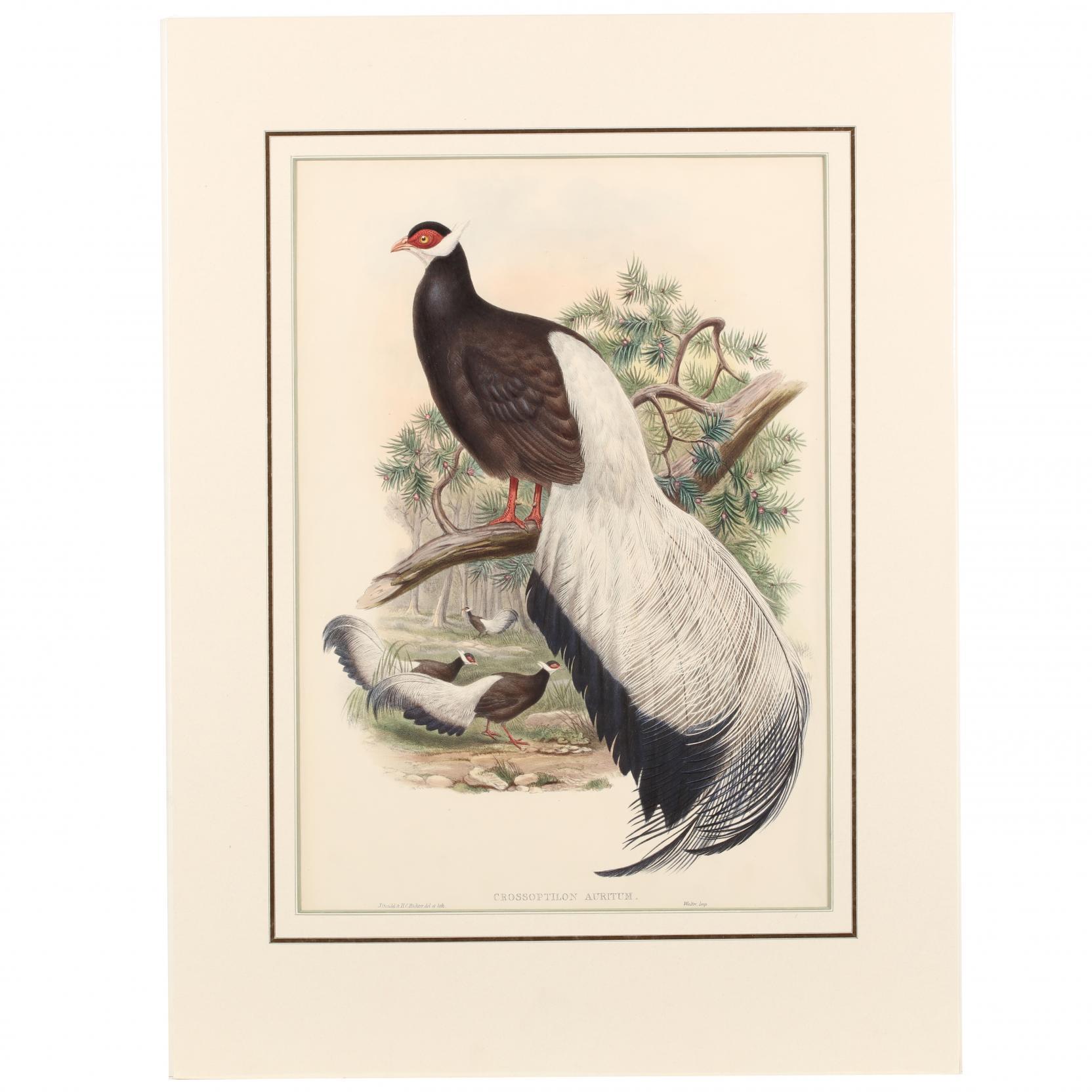john-gould-british-1804-1881-crossoptilon-auritum-blue-eared-pheasant