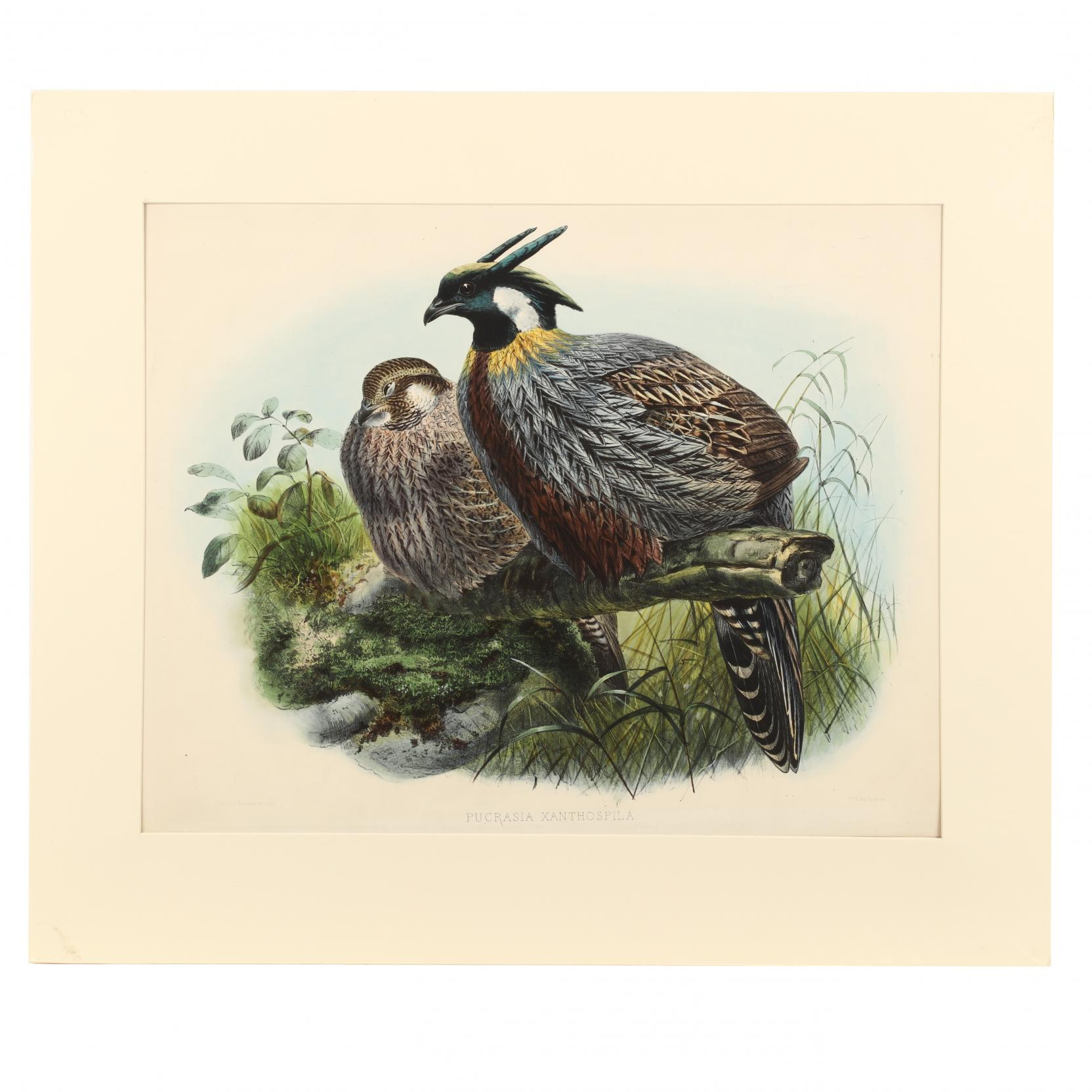 after-joseph-wolf-by-j-g-keulemans-19th-century-pucrasia-xanthospila-chinese-pucra-pheasant
