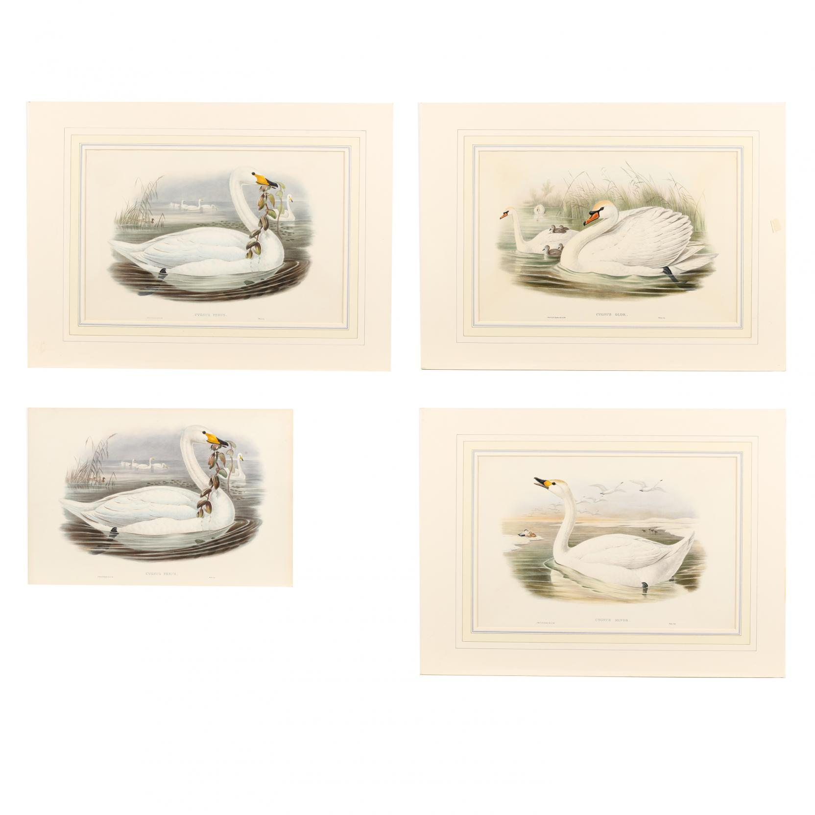 four-swan-prints-from-john-gould-s-i-the-birds-of-great-britain-i