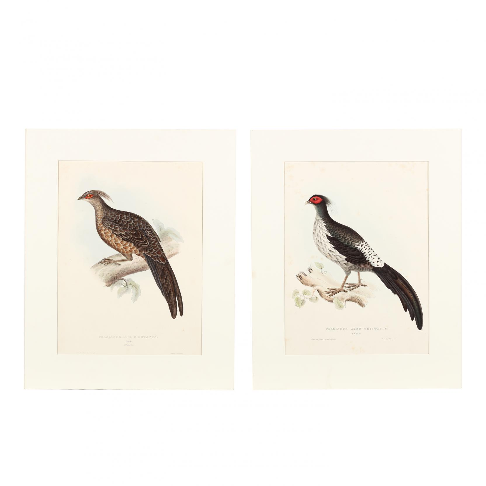 elizabeth-gould-1804-1841-two-prints-depicting-the-male-and-female-phasianus-albo-cristatus