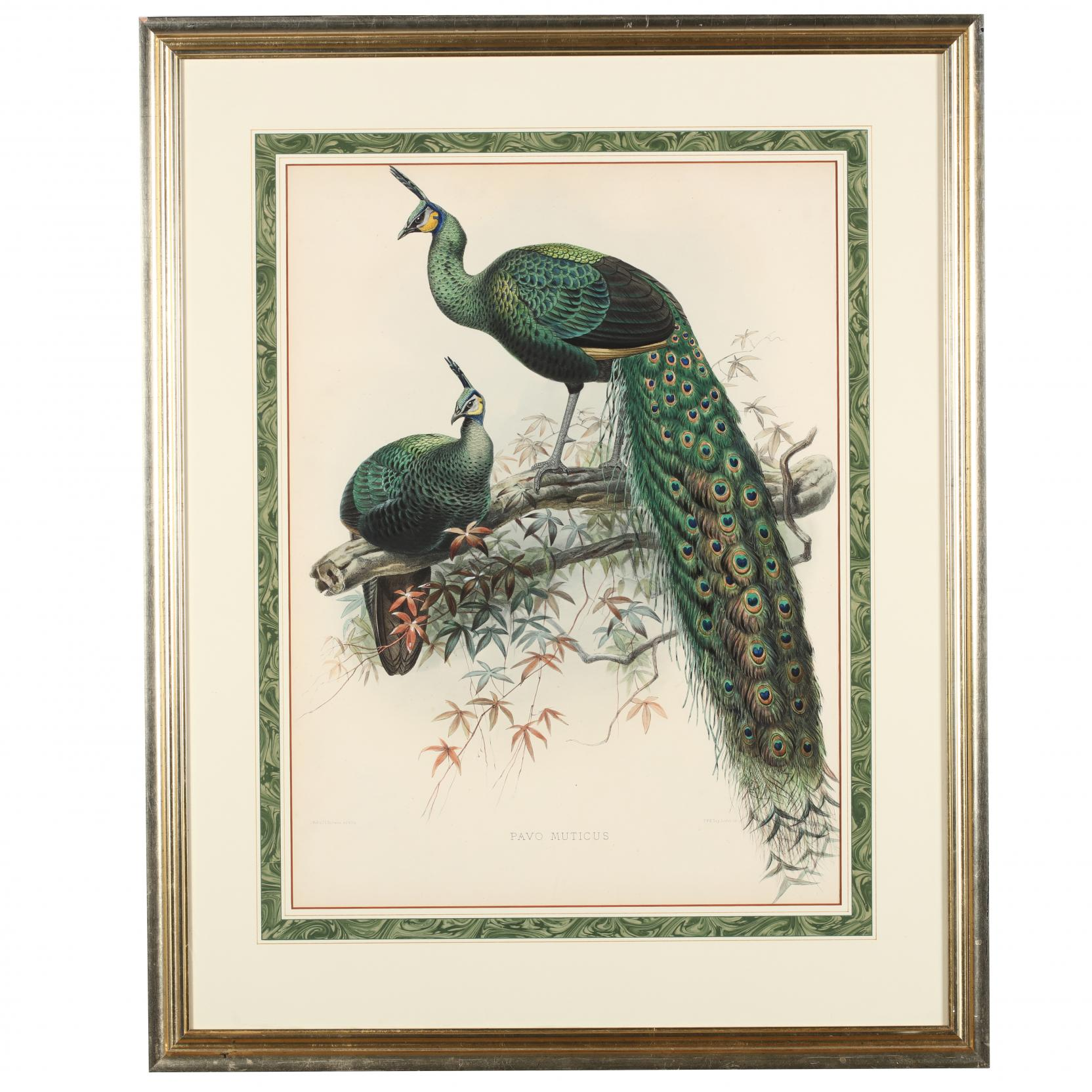 after-joseph-wolf-by-j-g-keulemans-19th-century-pavo-muticus-pea-fowl