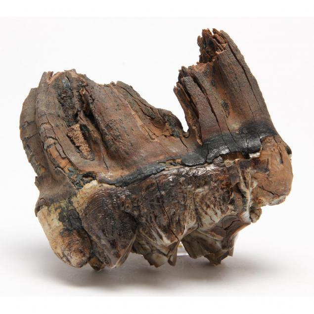fossilized-mastodon-tooth