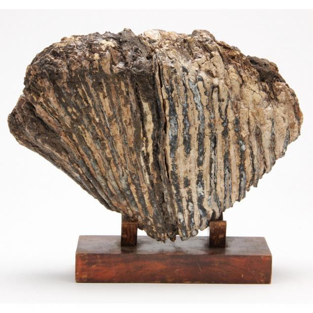 fossilized-mammoth-tooth