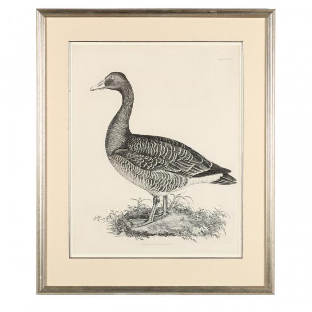 after-prideaux-john-selby-british-1788-1867-common-wild-goose