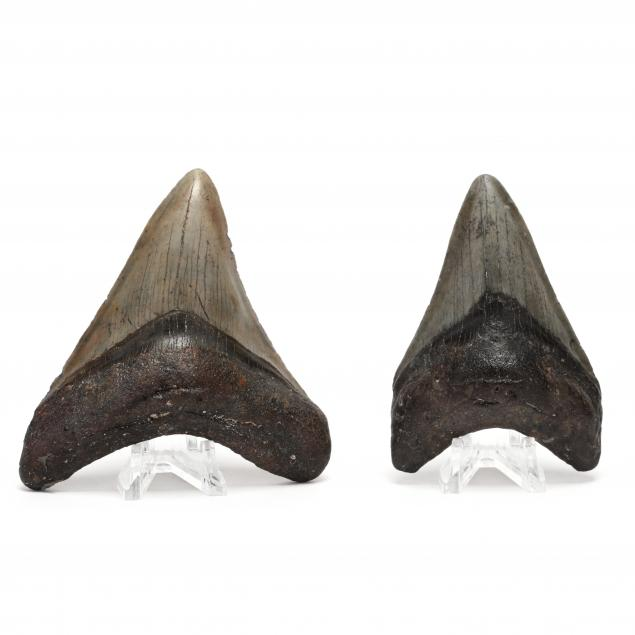 two-north-carolina-megalodon-teeth