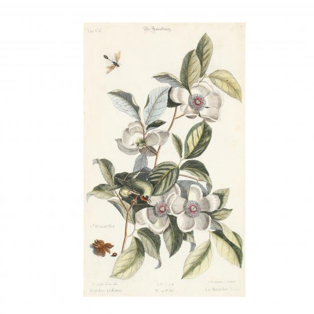 after-mark-catesby-english-1683-1749-i-golden-crowned-kinglet-with-silky-camellia-i