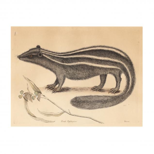 mark-catesby-british-1679-1749-i-pseudo-phalangium-polecat-i