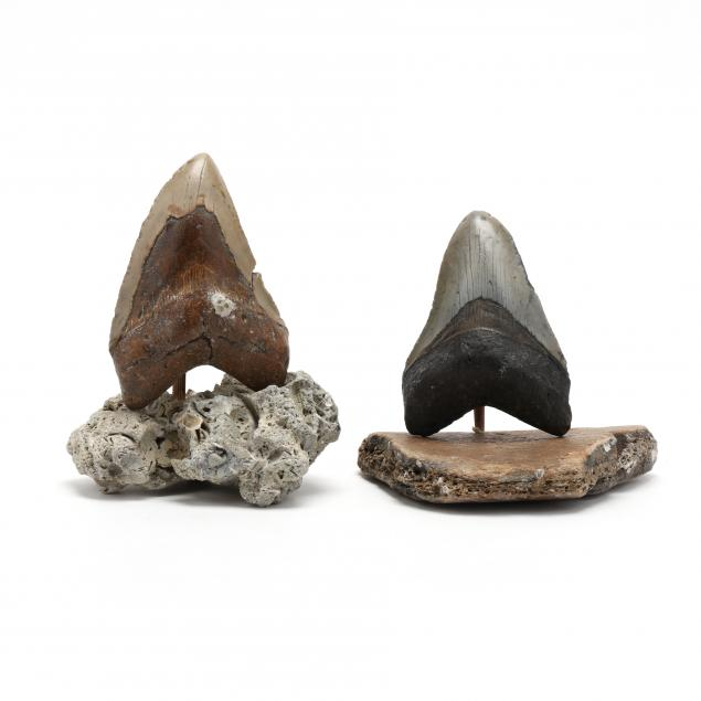 two-large-north-carolina-megalodon-teeth