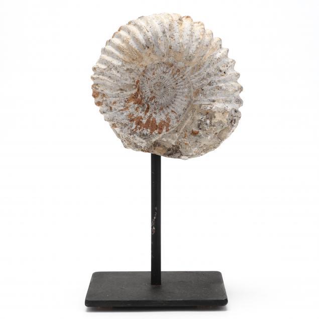 perisphinctes-ammonite-fossil-morocco
