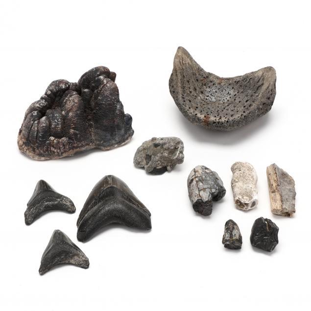 north-carolina-maritime-fossil-assortment