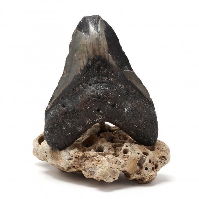 large-fossilized-north-carolina-megalodon-tooth