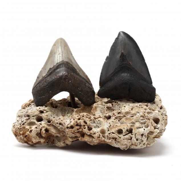 two-fossilized-north-carolina-megalodon-teeth