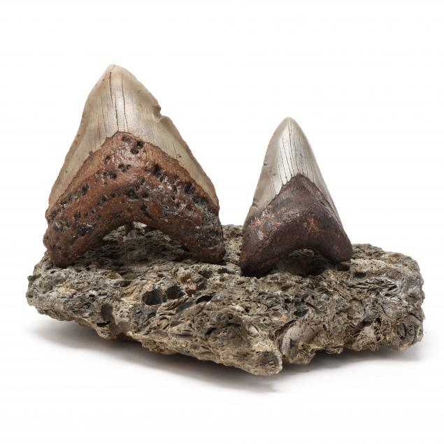 two-fossilized-north-carolina-megalodon-teeth