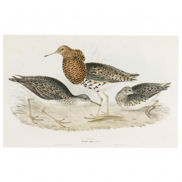 john-gould-british-1804-1881-i-machetes-pugnax-ruff-i